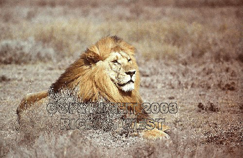 Lion, Panthera leo, male, Serengeti, Tanzania, East Africa