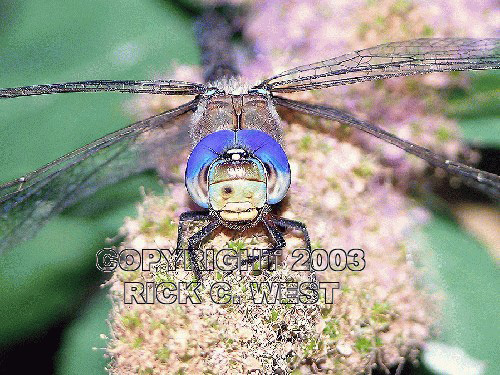 Dragonfly, Blue-eyed Darner, Rhionaeschna multicolor, female frontal, Victoria, BC, Canada