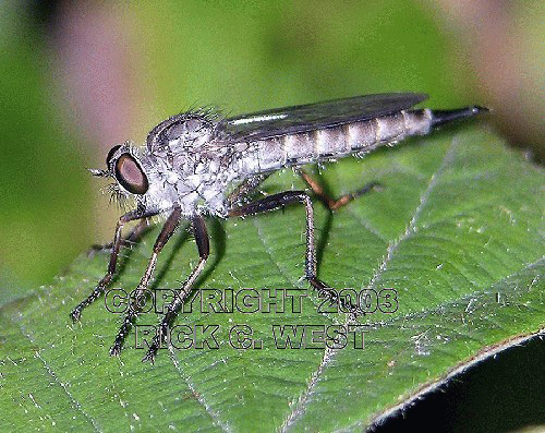 Fly, Robber Fly, genus and species undetermined, Victoria, BC, Canada