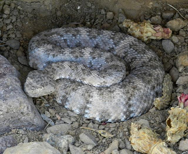 Speckled rattlesnake, Crotalus mitchelli pyrrhus, female [pale gray morph], Black Mtns., w. Arizona, USA