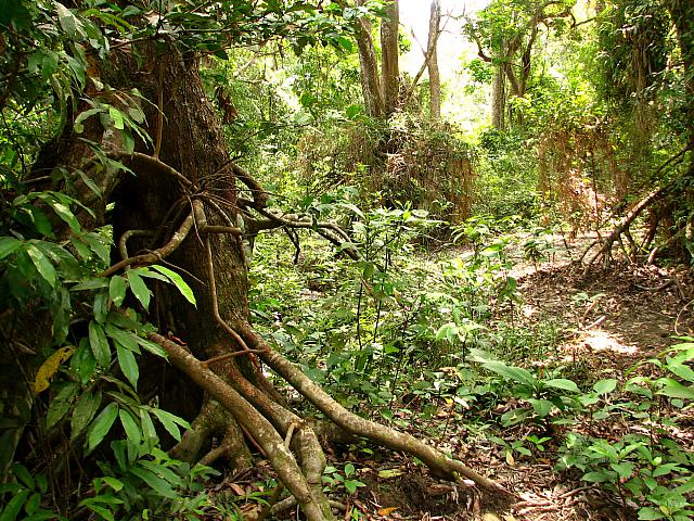 Heterothele & Phoneyusa habitat, understory gallery tropical forest, Gabon