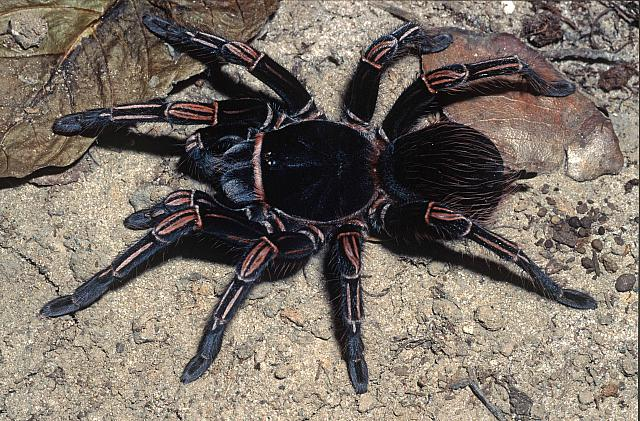 TARANTULA SPECIES LIST | Jurassic Pet Supplies