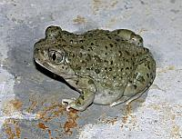 Scaphipus couchi Baird 1854 [Couch's spadefoot toad], region of Monterrey, Nuevo Leon, Mexico