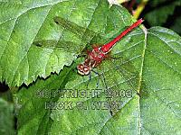 Dragonfly, Striped Meadowhawk, Sympetrum pallipes, female, Victoria, BC, Canada