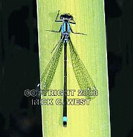 Damselfly, Pacific Forktail dragonfly, Ischnura cervula, male, Victoria, BC, Canada