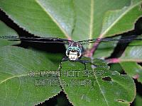 Dragonfly, Paddle-tailed Darner, Aeshna palmata, male frontal, Victoria, BC, Canada
