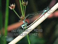 Damselfly, Pacific Forktail, Ischnura cervula, mating, Victoria, BC, Canada